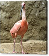 A Scarlet Ibis Stands Perched On A Rock Acrylic Print