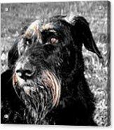 A Schnauzer's Plea  Acrylic Print by Jo Collins