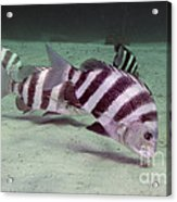 A School Of Sheepshead Feeding Acrylic Print by Michael Wood