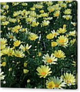 A Sea Of Yellow Daisys Acrylic Print
