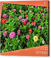 A Sea Of Zinnias 06 Acrylic Print