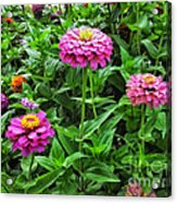 A Sea Of Zinnias 09 Acrylic Print