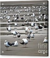 A Seagulls Life Acrylic Print by Sheldon Blackwell