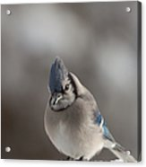 A Blue Jay Sits Waiting Acrylic Print