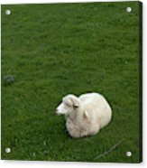A Sheep Stands In A Green Prairie Acrylic Print