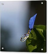 A Side Of Commelina Communis  Acrylic Print