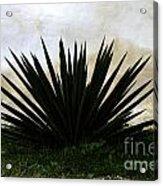 A Simple Yucca Acrylic Print