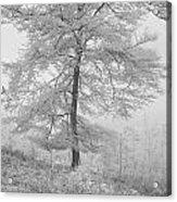 A Single Infrared Beech Tree Acrylic Print