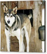 A Sled Dog Stands By Its Kennel Acrylic Print