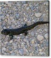 A Slow Salamander  Acrylic Print