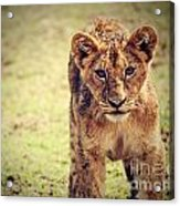 A Small Lion Cub Portrait. Tanzania Acrylic Print