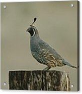 A Sole Rooster Quail Acrylic Print