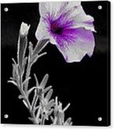 A Splash Of Purple Acrylic Print