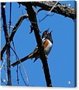 A Spotted Towhee Mid-song Acrylic Print
