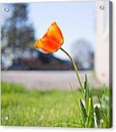 A Spring Tulip Acrylic Print
