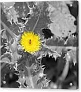 A Sticky Flower Acrylic Print