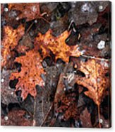 A Study In Brown Acrylic Print