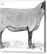 A Suffolk Shearling Ewe          Date Acrylic Print
