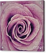 A Sugared Rose Acrylic Print