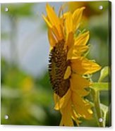 A Sunflower Profile Acrylic Print