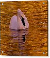 A Swan On Golden Waters Acrylic Print