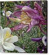 a taste of dew i do and PCC  garden too     GARDEN IN SPRING MAJOR Acrylic Print by Kenneth James