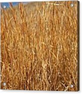 A Thicket Of Grass Acrylic Print