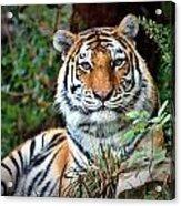 A Tigers Glance Acrylic Print