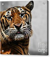 A Tiger's Look Acrylic Print