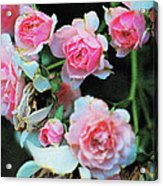 A Time For Roses Acrylic Print