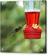 A Tiny Little Ruby-throated Hummingbirds Acrylic Print