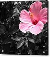 A Touch Of Pink Acrylic Print