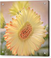 A Touch Of Sunshine Acrylic Print by Fiona Messenger