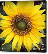 A Touch Of Sunshine - Sunflower Acrylic Print