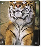 A Tough Day Siberian Tiger Endangered Species Wildlife Rescue Acrylic Print