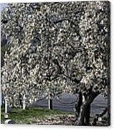 A Tree In Arlington Acrylic Print