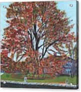 A Tree In Sherborn Acrylic Print