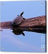 A Turtle Reflecting Acrylic Print