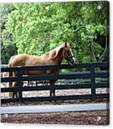 A Very Beautiful Hilton Head Island Horse Acrylic Print