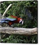 A Very Colorful And Bright Macaw Bird Perched On A Branch Acrylic Print