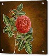A Vintage Rose Romance L Acrylic Print