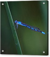 A Vivid Dancer Dragonfly Acrylic Print