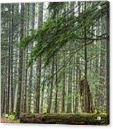 A Walk Through The Forest Acrylic Print