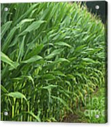 A Wall Of Corn Acrylic Print