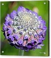 A Whatsis Squared Acrylic Print by Suzanne Gaff