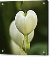 A White Heart Acrylic Print