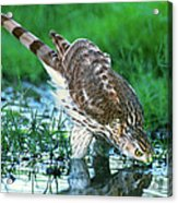 A Wild Juvenile Cooper's Hawk Drinks From A Pond Acrylic Print
