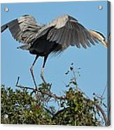 A Winged Stance Acrylic Print