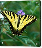 A Yellow Butterfly Acrylic Print