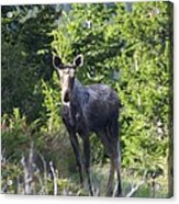 A Young Moose  Acrylic Print